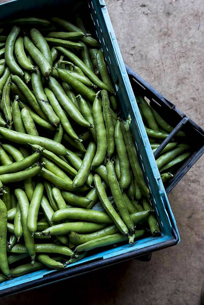 High angle close up of freshly picked green beans, Oxfordshire, United Kingdom - 1174-9884