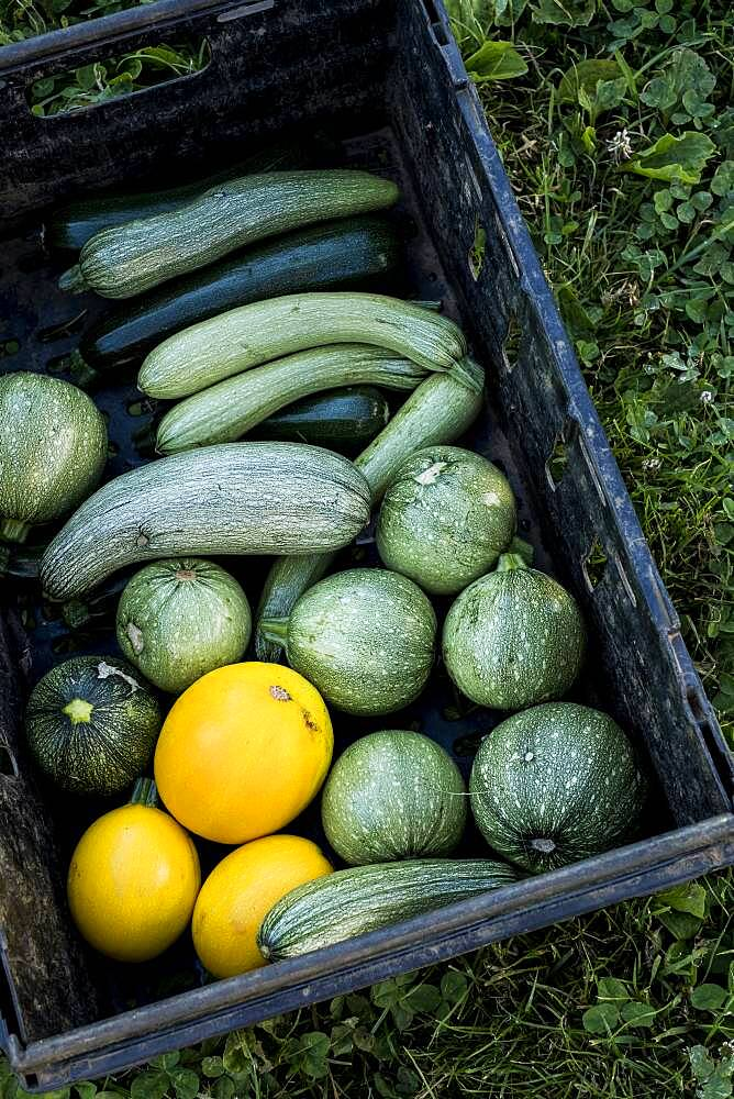 High angle close up of freshly picked yellow and green marrows and courgettes, Oxfordshire, United Kingdom - 1174-9888