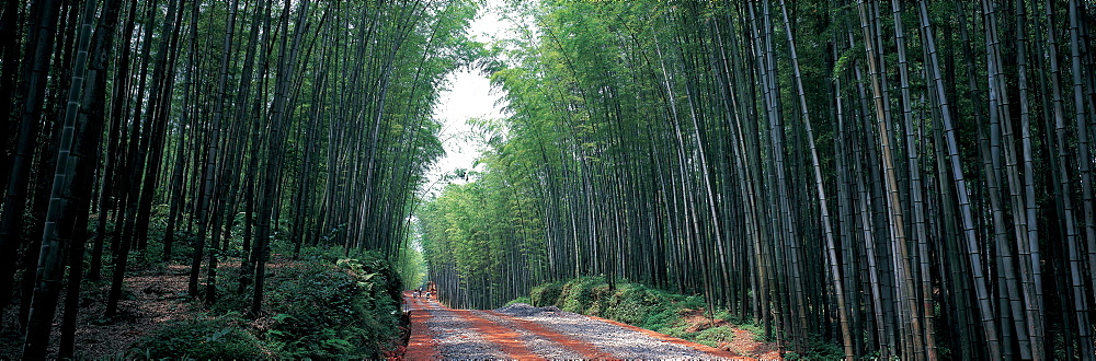 Bamboo forest in Changning, Sichuan