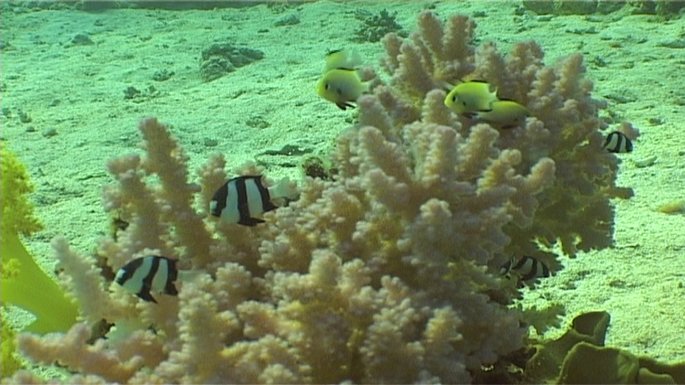 Three banded damselfish (Dascyllus aruanus) and unidentified yellow damselat coral head. Red Sea. Egypt