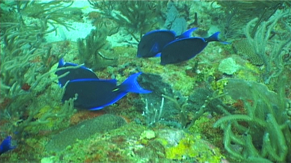 Blue tangs (Acanthurus coeruleus) feeding on reef. Bequia Island. Caribbean