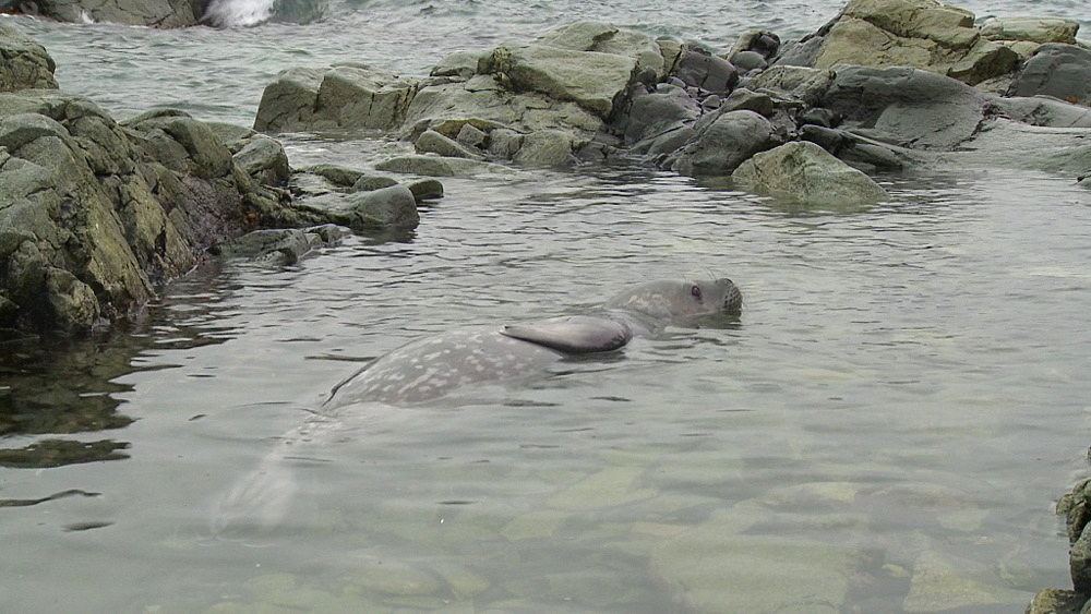 Weddell Seal (Leptonychotes weddellii) pup in shallows. Sub Antarctic Island - 1034-1009