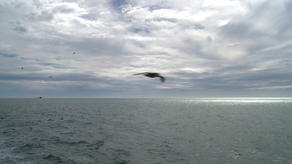 Giant petrels (Macronectes giganteus) fly to and past camera. South Atlantic - 1034-1036