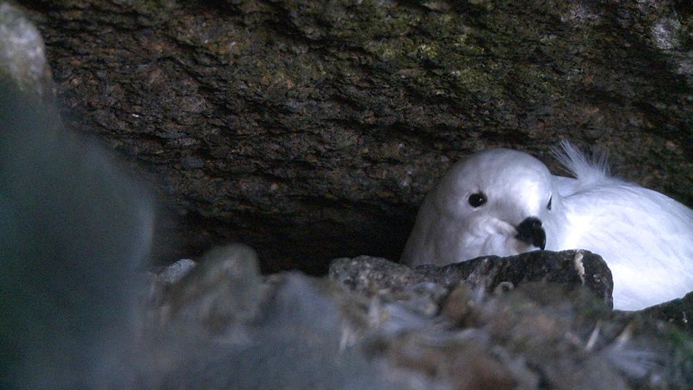 Snow petrel (Pagodroma nivea). Antarctic Peninsula - 1034-1049