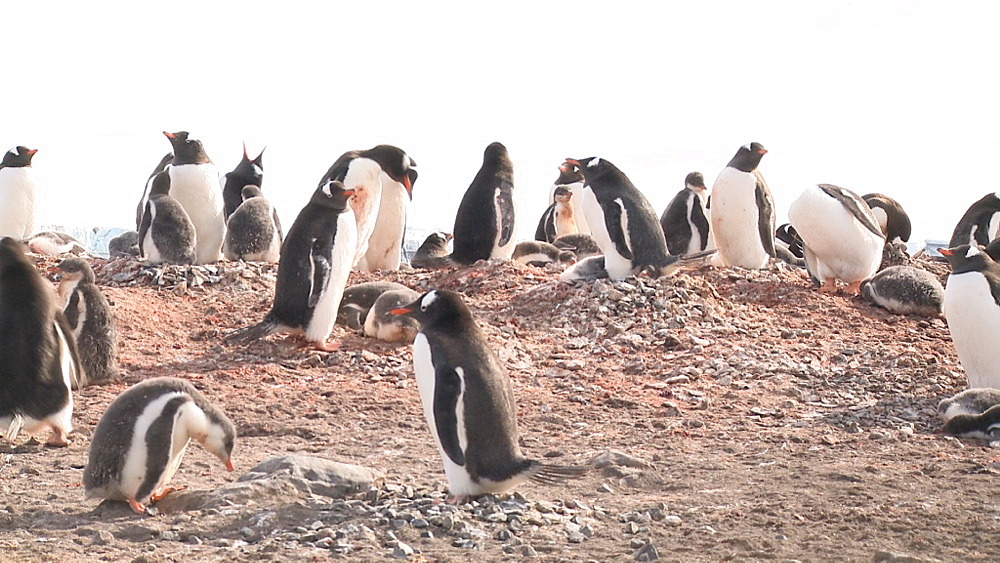 Gentoo penguin (Pygoscelis papua) colony. Elephant point, Livingstone Island, South Shetlands - 1034-1064