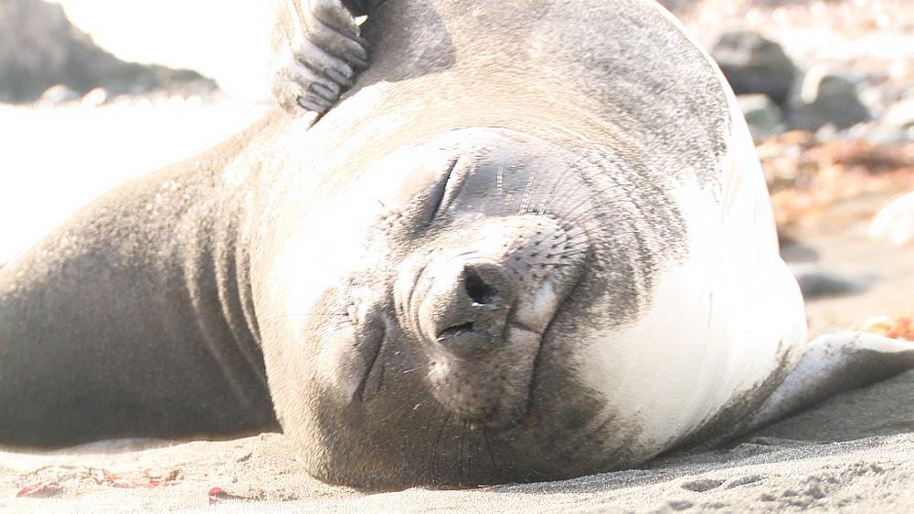 Southern elephant seal (Mirounga leonina) juvenile scratching on beach. Elephant Point, Livingston Island, South Shetlands