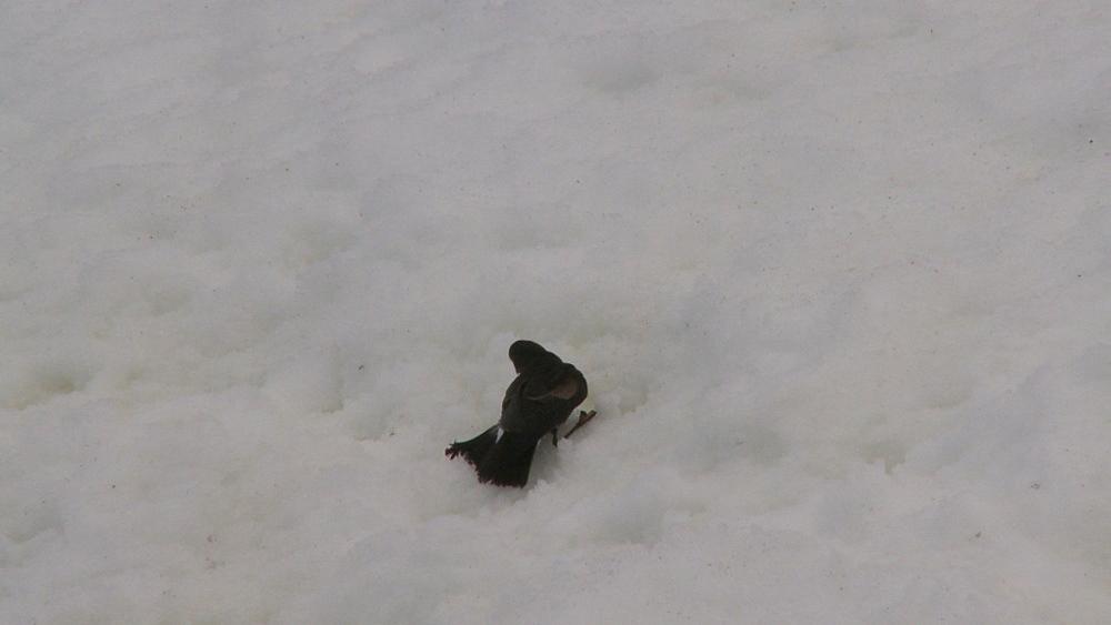 Wilson's storm petrel (Oceanites oceanicus) on ice, takes off. Hydrurga rocks. Antarctic peninsula