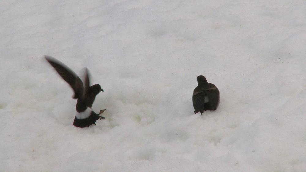 Wilson's storm petrel (Oceanites oceanicus) pair on ice, one calls. Hydrurga rocks. Antarctic peninsula