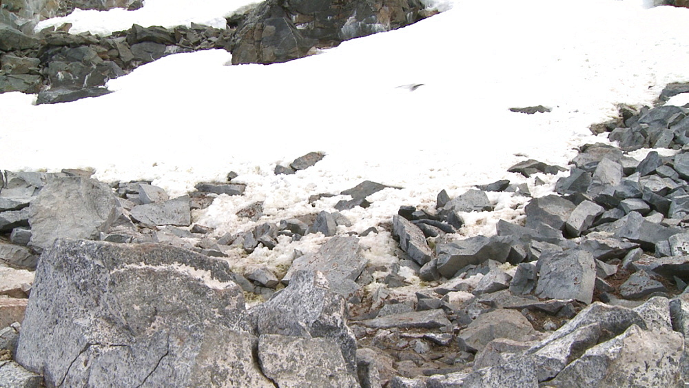 Wilson's storm petrel (Oceanites oceanicus) flies over ice. Hydrurga rocks. Antarctic peninsula