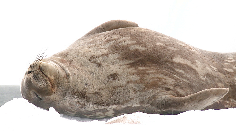 Weddell Seal (Leptonychotes weddellii) on ice floe. Orne Island, Antarctic Peninsula - 1034-1086