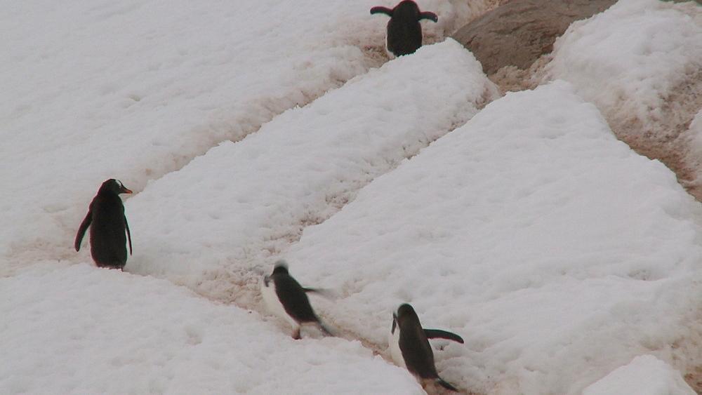 Gentoo penguins (Pygoscelis papua) down steep track in ice. Neko Harbour, Antarctic peninsula