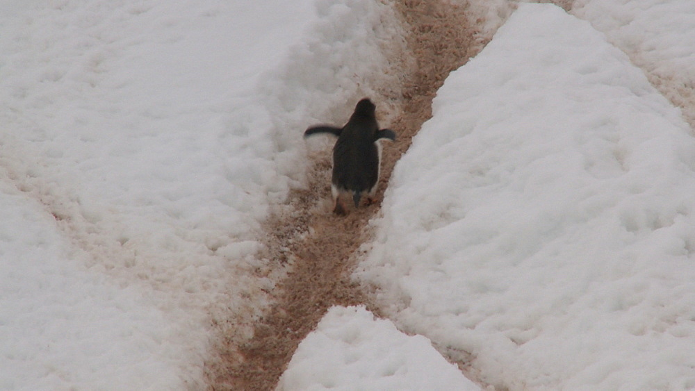 Gentoo penguins (Pygoscelis papua) up steep track in ice. Neko Harbour, Antarctic peninsula - 1034-1093