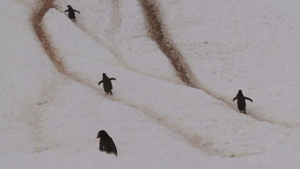 Gentoo penguins (Pygoscelis papua) up steep track in ice. Neko Harbour, Antarctic peninsula
