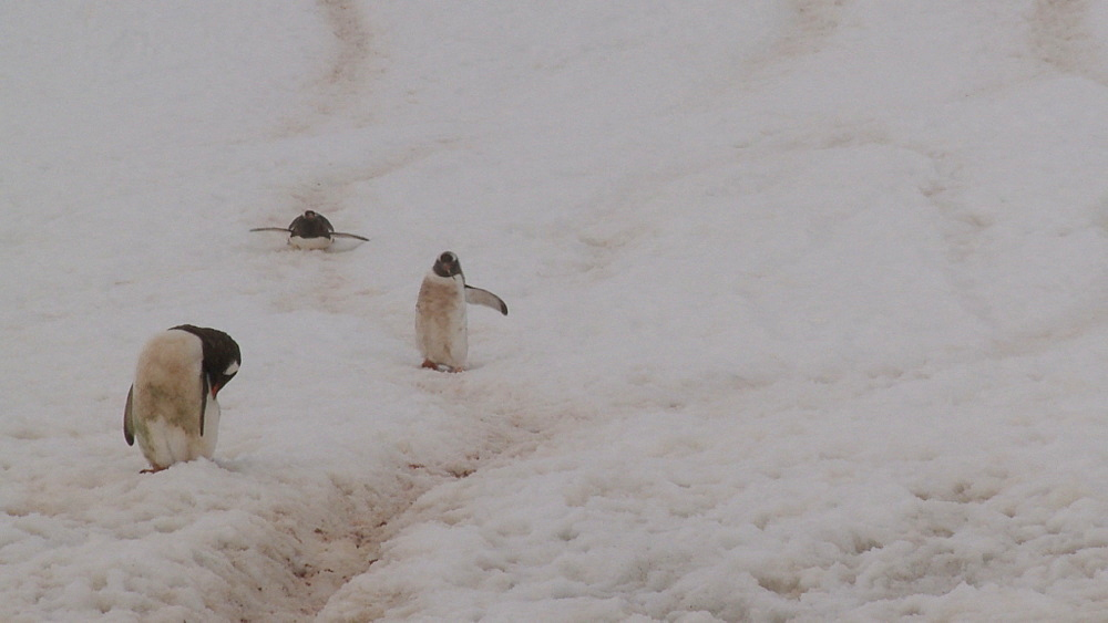 Gentoo penguins (Pygoscelis papua) down steep track in ice, one toboggans. Neko Harbour, Antarctic peninsula - 1034-1105