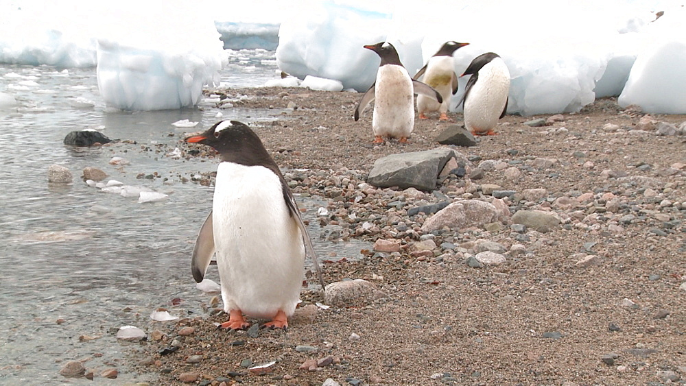 Gentoo penguins (Pygoscelis papua) on narrow beach. Neko Harbour, Antarctic peninsula - 1034-1106