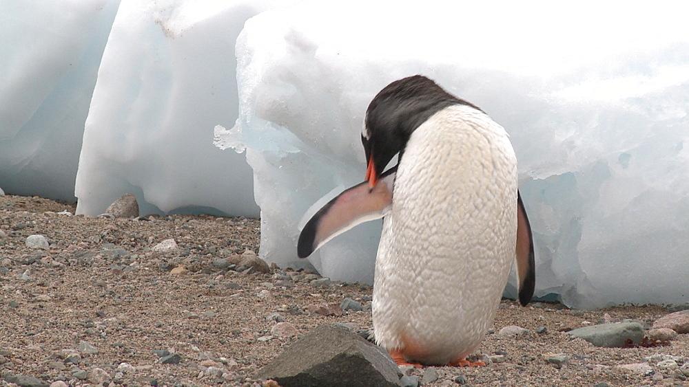 Gentoo penguin (Pygoscelis papua) preens. Neko Harbour, Antarctic peninsula