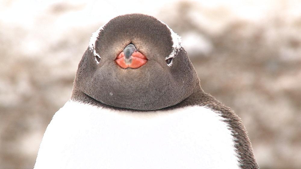 Gentoo penguin (Pygoscelis papua) portrait. Neko Harbour, Antarctic peninsula