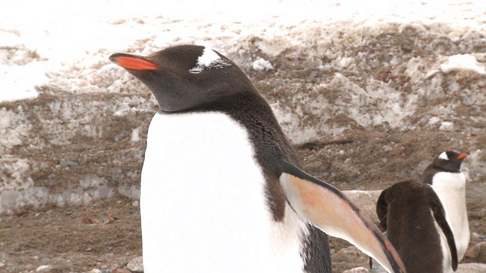 Gentoo penguins (Pygoscelis papua) portrait. Neko Harbour, Antarctic peninsula