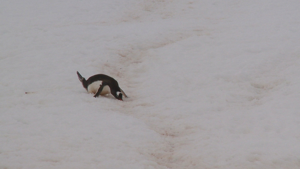 Gentoo penguins (Pygoscelis papua) down track (penguin run) to camera. Neko Harbour, Antarctic peninsula - 1034-891
