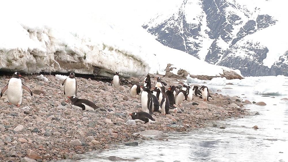Gentoo penguins (Pygoscelis papua) on narrow beach. Neko Harbour, Antarctic peninsula