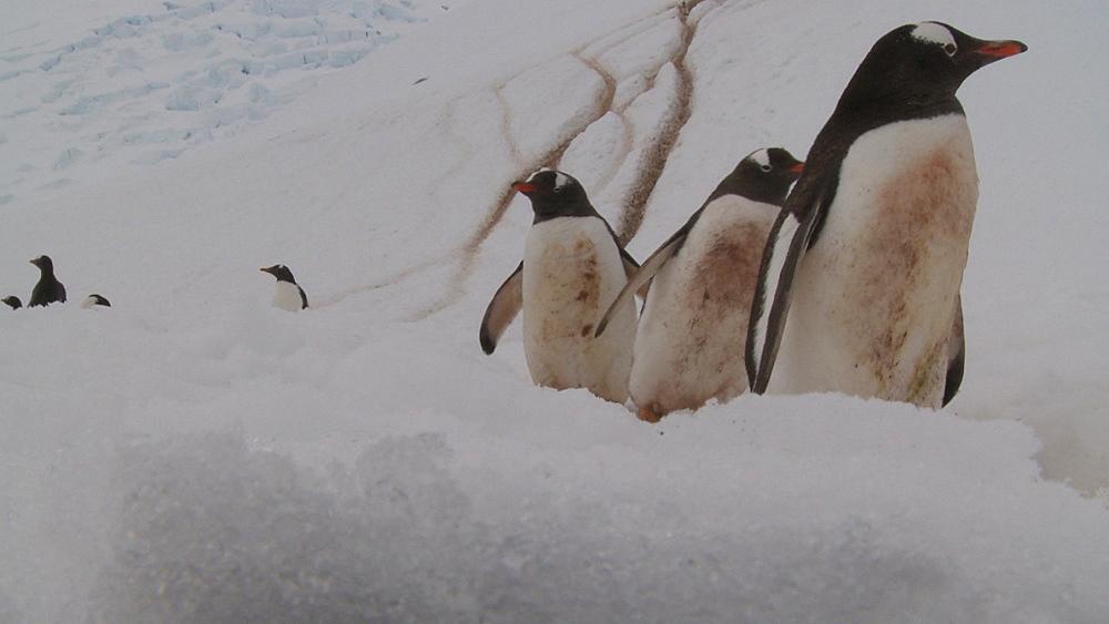 Gentoo penguins (Pygoscelis papua) down track to camera. Neko Harbour, Antarctic peninsula