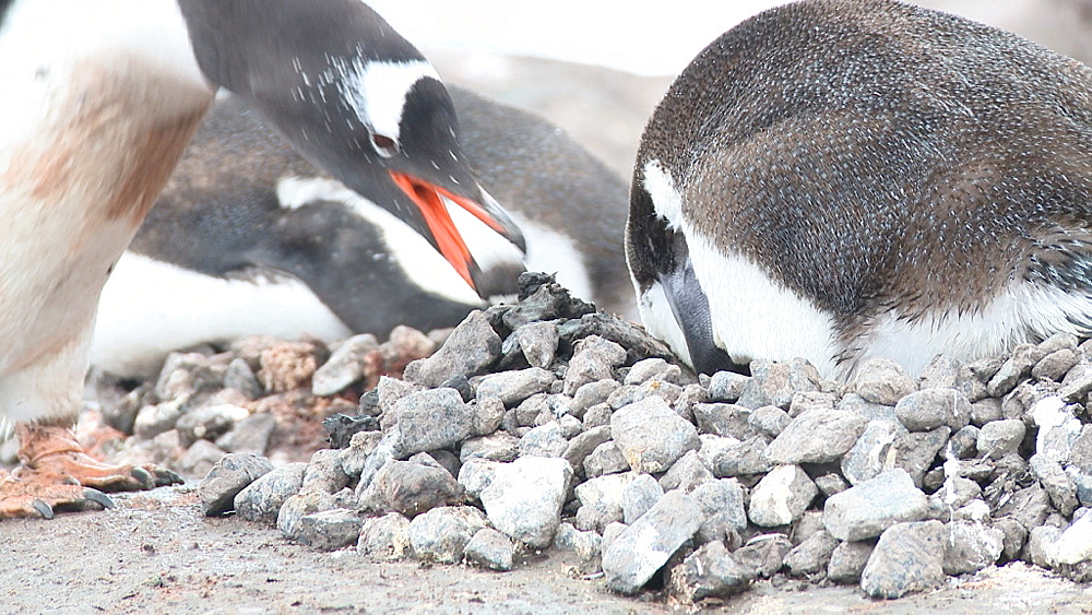 Gentoo penguin (Pygoscelis papua), places new stone in nest. Port Lockroy, Antarctic Peninsula - 1034-924