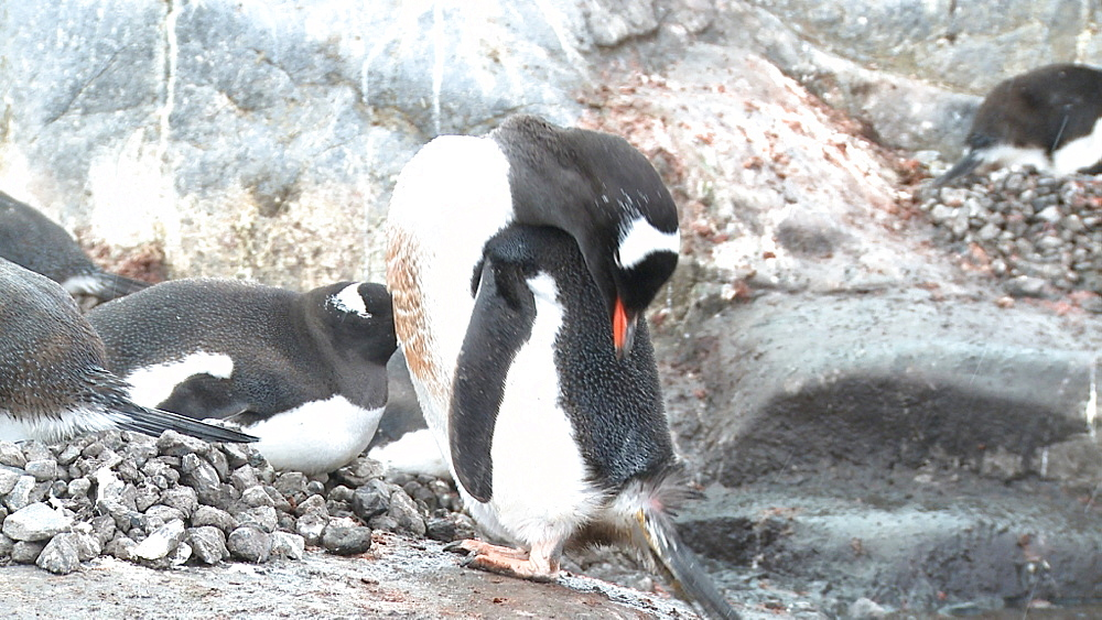 Gentoo penguin (Pygoscelis papua) preens in snow. Port Lockroy, Antarctic Peninsula