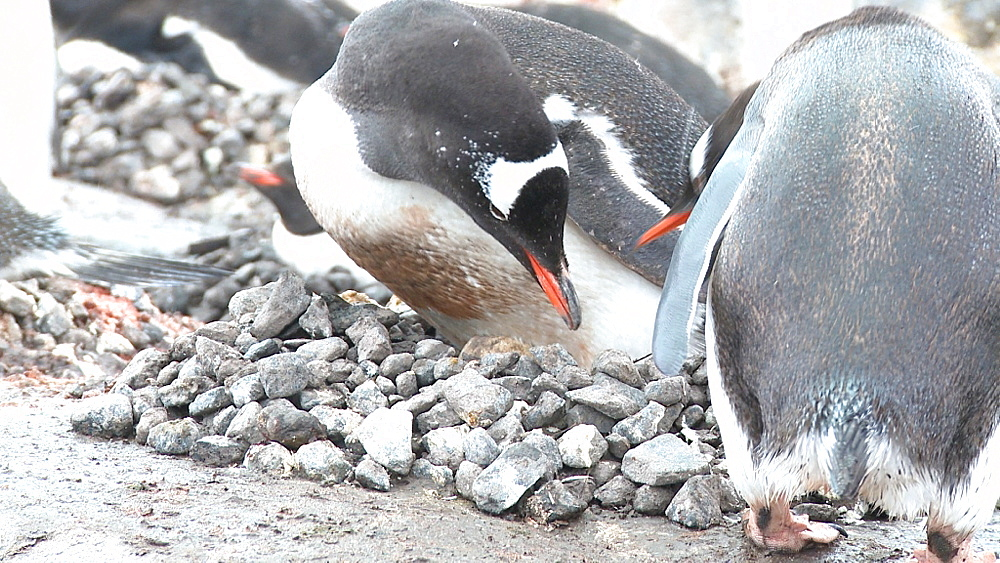 Gentoo penguins (Pygoscelis papua) at nest, pair switch over showing pair of eggs in nest. Port Lockroy, Antarctic Peninsula - 1034-937