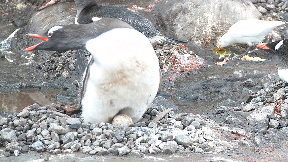 Gentoo penguin (Pygoscelis papua) showing egg and brood patch. Port Lockroy, Antarctic Peninsula - 1034-942