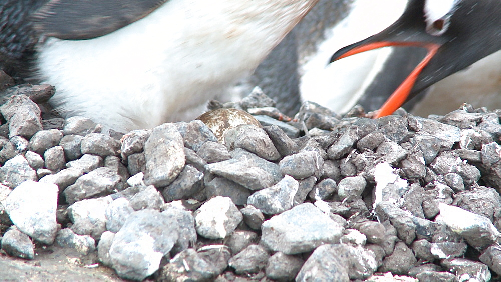 Gentoo penguin (Pygoscelis papua) at nest, egg seen underneath. Port Lockroy, Antarctic Peninsula - 1034-944