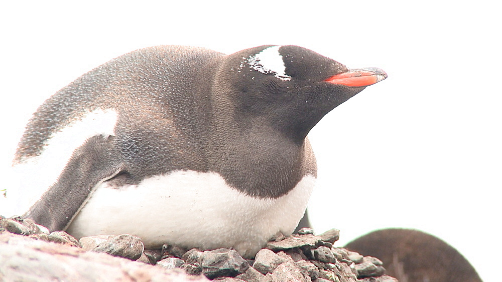 Gentoo penguin (Pygoscelis papua) at nest. Port Lockroy, Antarctic Peninsula - 1034-953