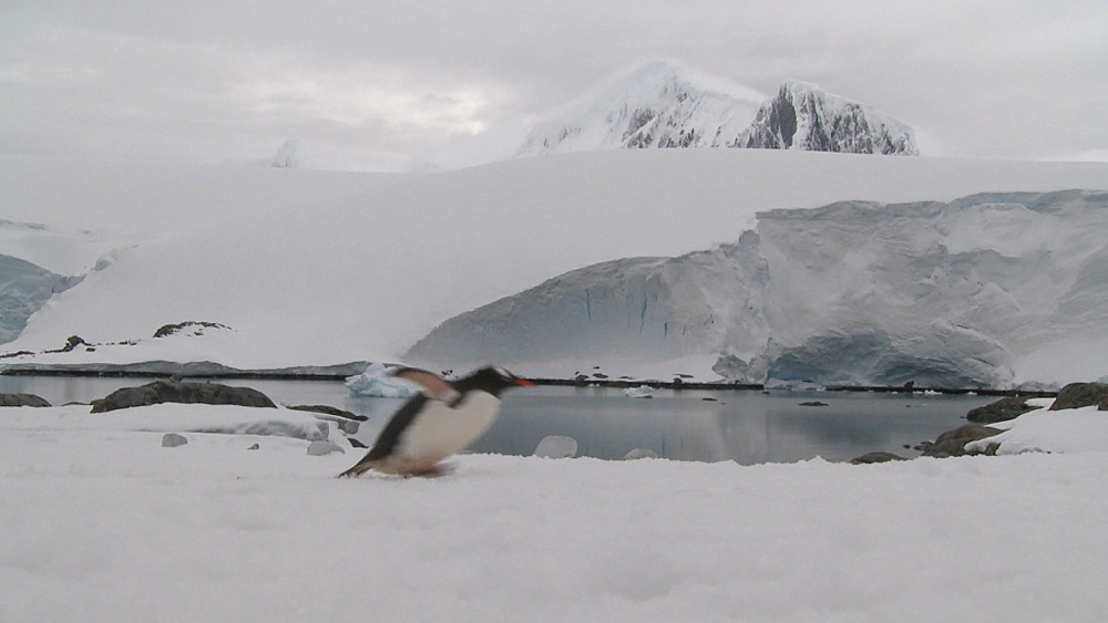 Gentoo penguin (Pygoscelis papua) falls over then walks out of shot. Port Lockroy, Antarctic Peninsula - 1034-958