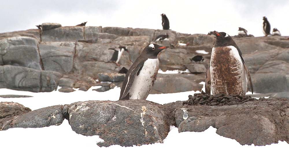 Gentoo penguins (Pygoscelis papua) at colony, one penguin moving stones to nest. Port Lockroy, Antarctic Peninsula - 1034-963
