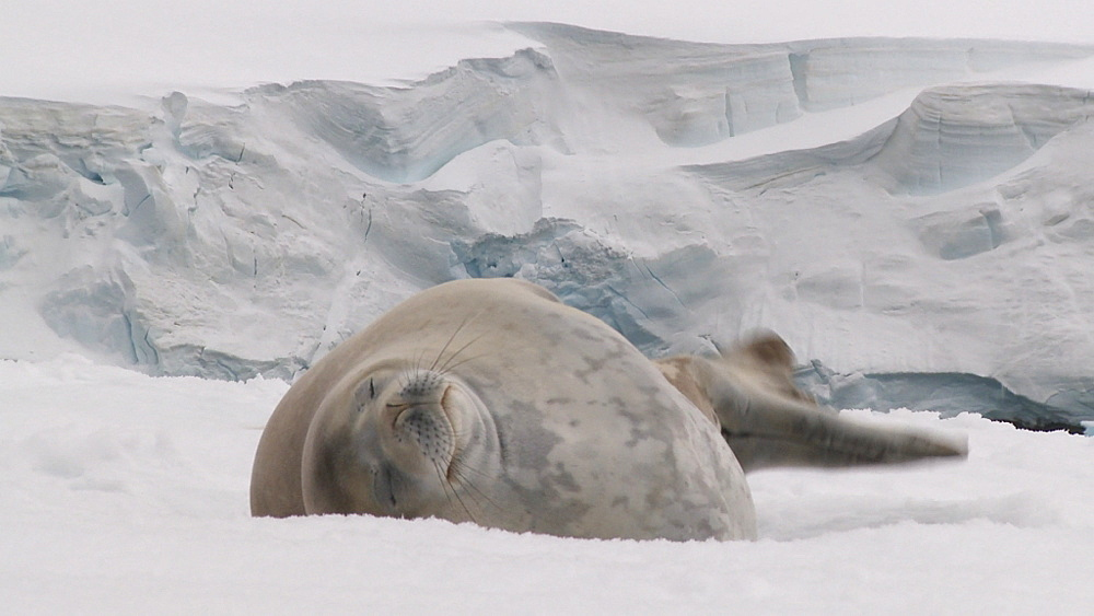 Weddell Seal (Leptonychotes weddellii) on ice floe. Port Lockroy, Antarctic Peninsula - 1034-968