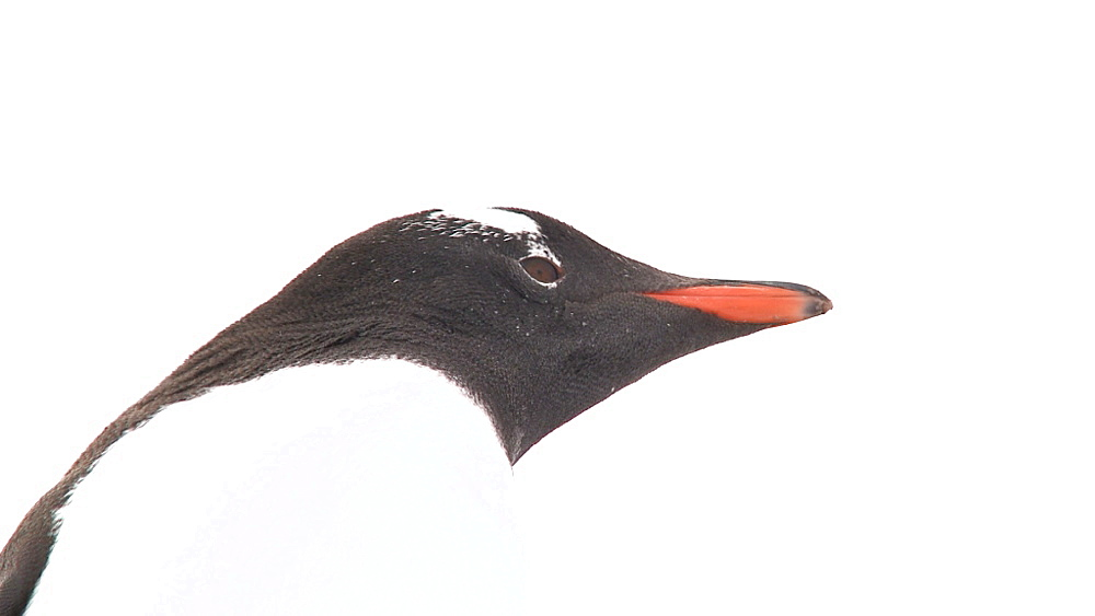 Gentoo penguin (Pygoscelis papua) low angle. Port Lockroy, Antarctic Peninsula - 1034-969