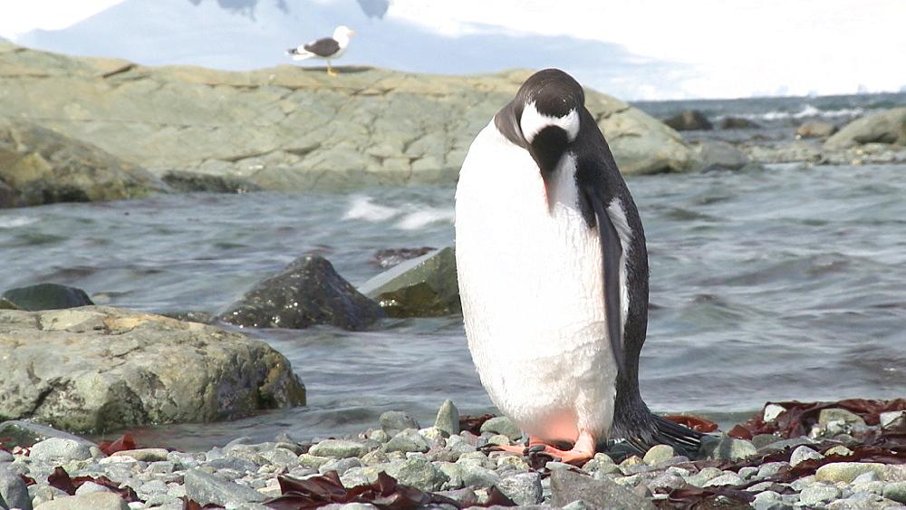 Gentoo penguin (Pygoscelis papua) preens (kelp gull in background). Mikkelson Harbour, Antarctic peninsula