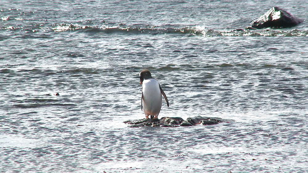 Gentoo penguin (Pygoscelis papua). Mikkelson Harbour, Antarctic peninsula - 1034-982