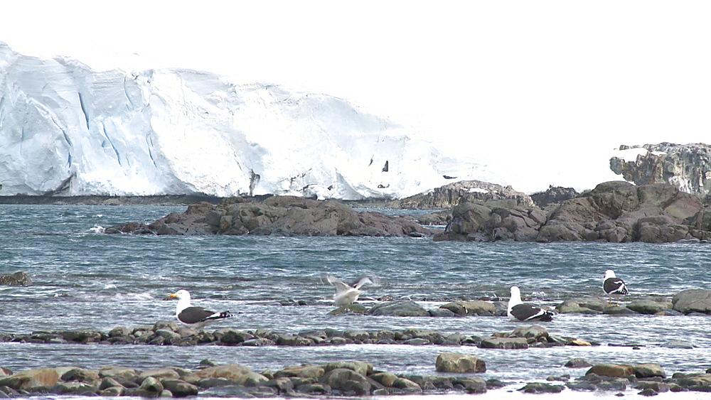 Kelp gull (Larus dominicanus vetula). Mikkelson Harbour, Antarctic peninsula - 1034-987