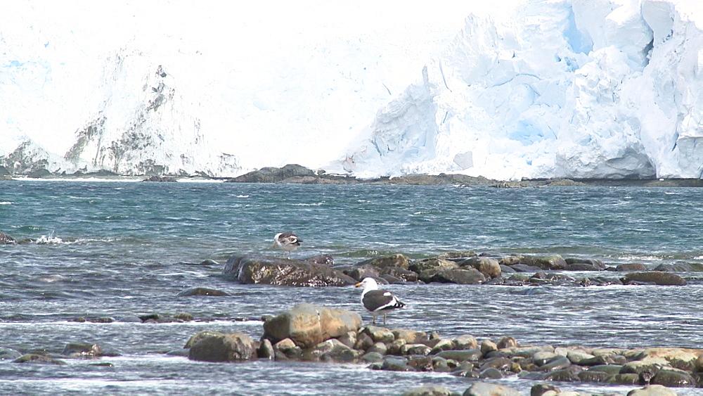 Kelp gull (Larus dominicanus vetula). Mikkelson Harbour, Antarctic peninsula - 1034-988