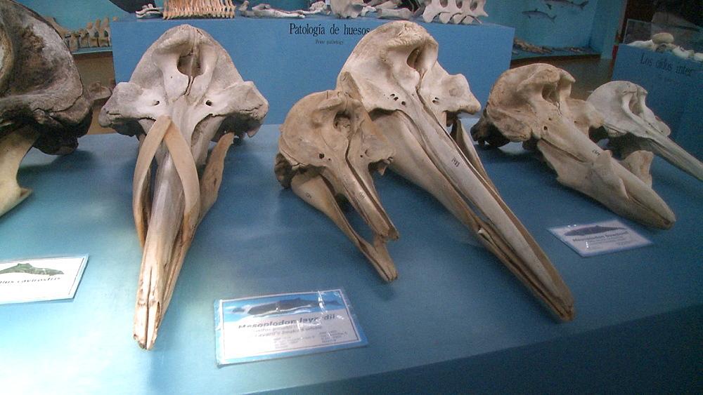 Skull of straptooth beaked whale (Mesoplodon layardii) adult male. Other species of beaked whale around it. Harberton Whale Skeleton Museum, Puerto Harberton, Tierra del Fuego, Argentina
