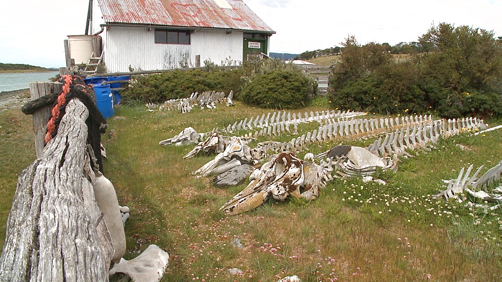 Skeletons of orcas (Orcinus orca). Harberton Whale Skeleton Museum, Puerto Harberton, Tierra del Fuego, Argentina