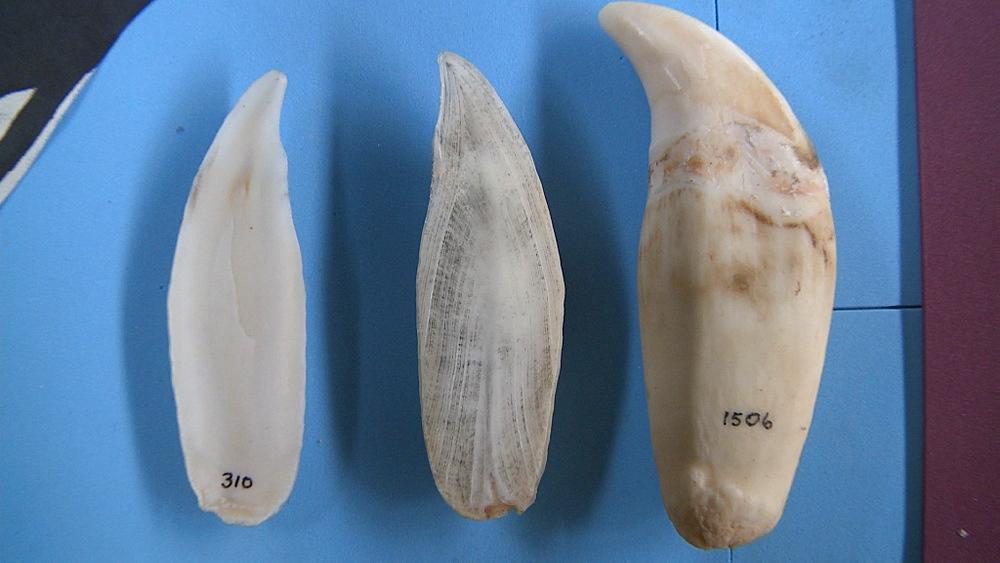 Teeth of Orca (Orcinus orca). Harberton Whale Skeleton Museum, Puerto Harberton, Tierra del Fuego, Argentina