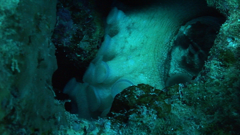 Octopus (currently unidentified).  Coral reef. Red Sea - 945-291