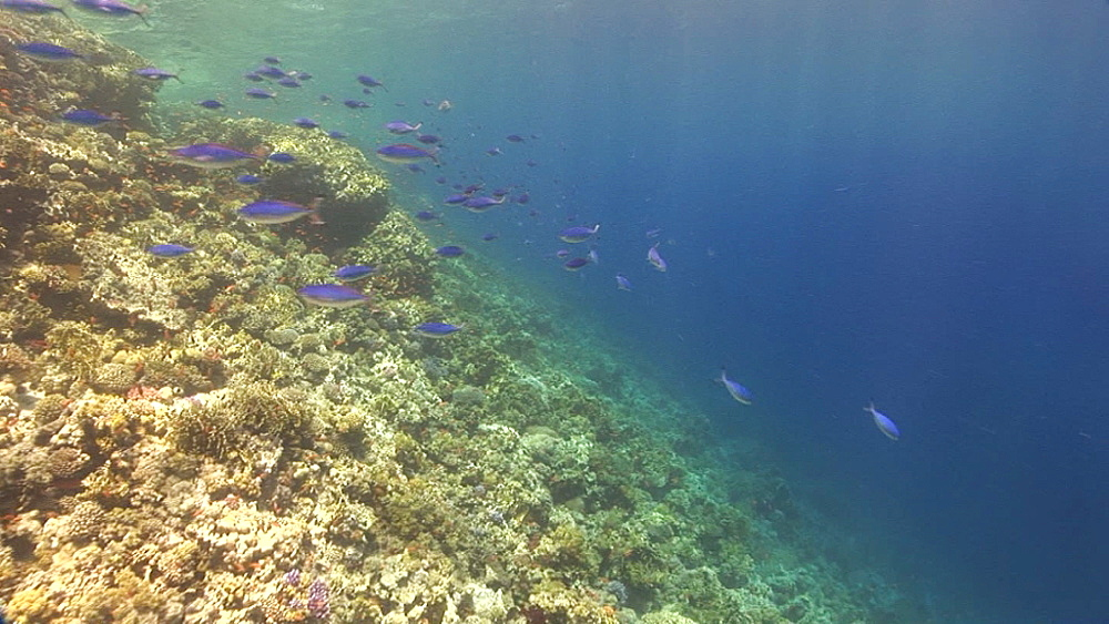 Track past Suez fusiliers (Caesio suevica). coral reef. Red Sea - 945-341
