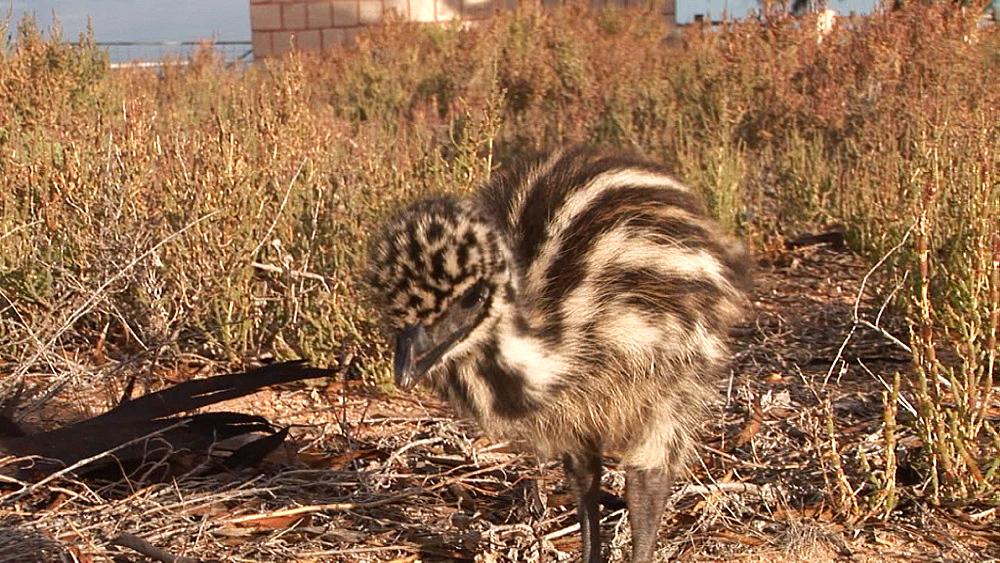 Emu (Dromaius novaehollandiae). chick. captive. Australia - 945-348