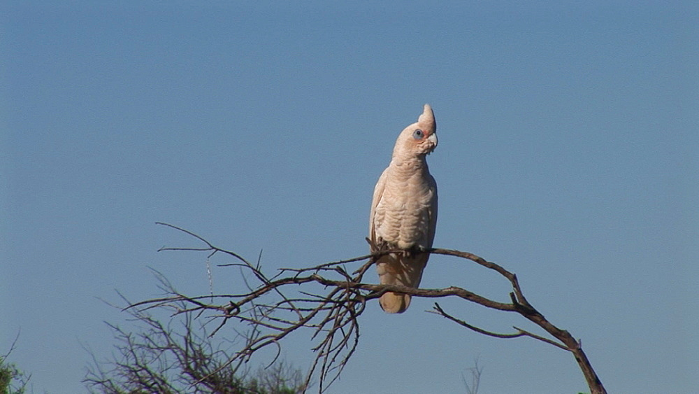 Little corella (Cacatua sanguinea) in tree. Australia