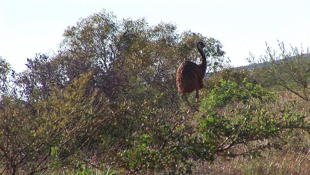Emu (Dromaius novaehollandiae). Australia - 945-352