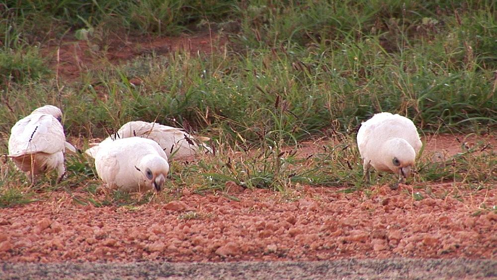 Little corella (Cacatua sanguinea) feed on ground. Australia - 945-353
