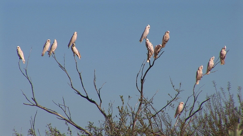 Little corellas (Cacatua sanguinea) flock in tree. Australia