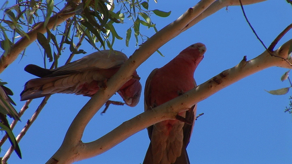 Galah (Eolophus roseicapilla) pair squabble in tree. Australia